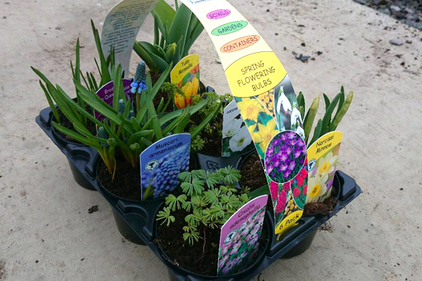 6 Pack Potted Bulbs.JPG